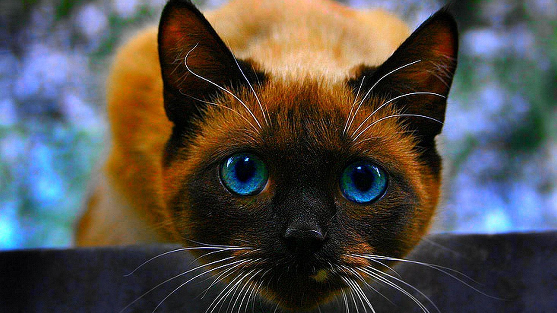 Hd Cat Wallpapers 1920x1080 69 Images: Siamese Cat Wallpapers