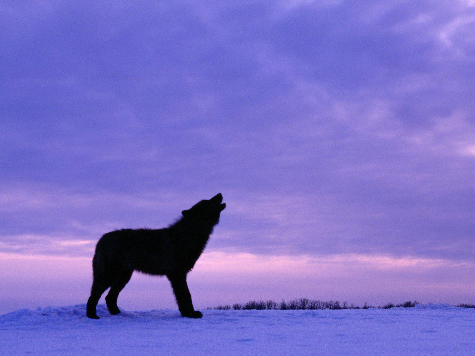 Wallpapers For > Black Wolf Wallpapers Desktop