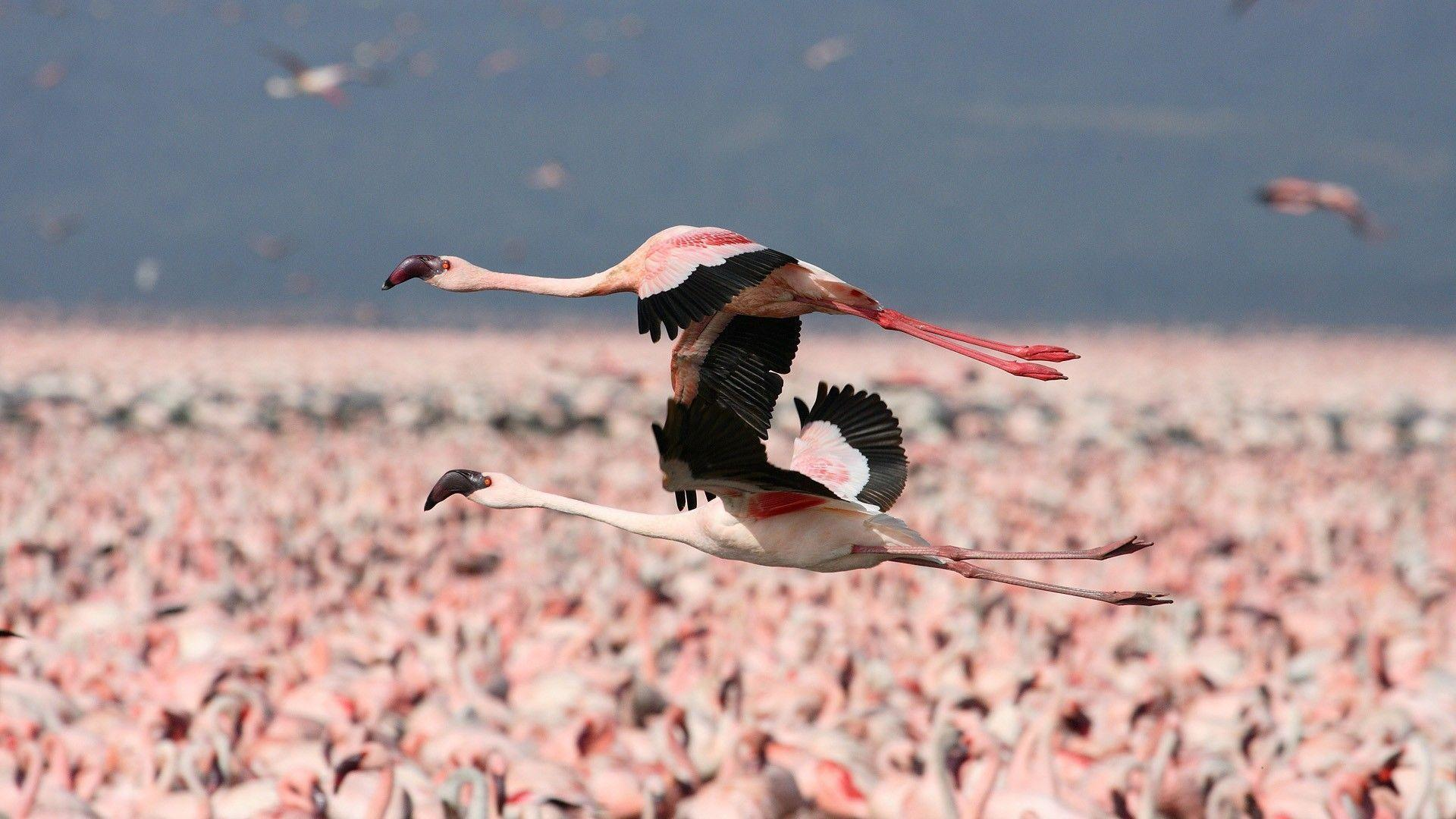 Download Animal Flamingo Wallpapers 1920x1080