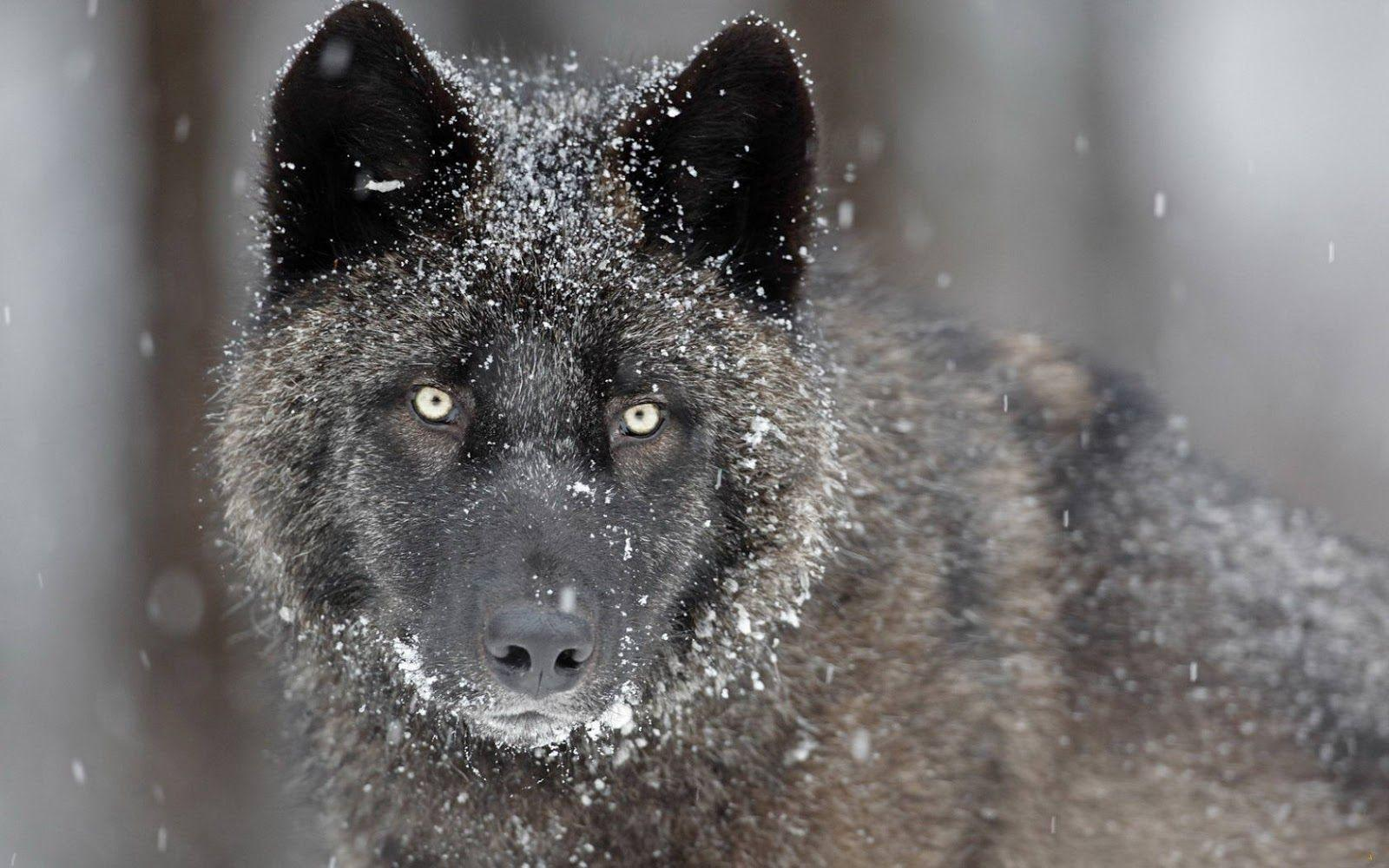 Black Wolf Fresh Hd Desktop Wallpapers 2013 | Beautiful And ...
