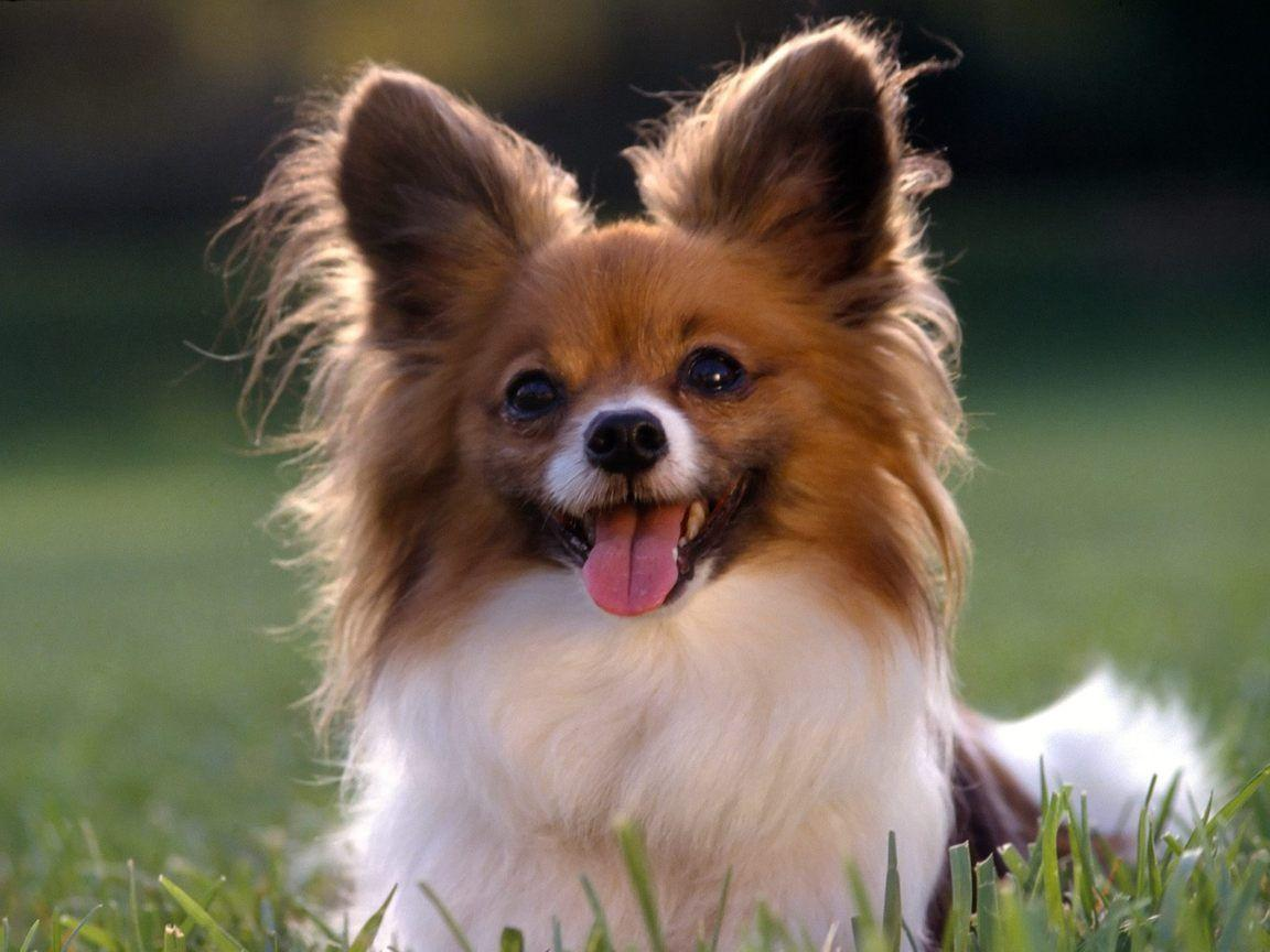 Papillon Wallpapers HD Download
