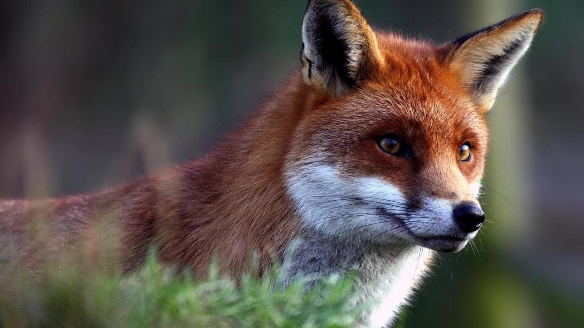 HD Cute fox cub hd Wallpaper