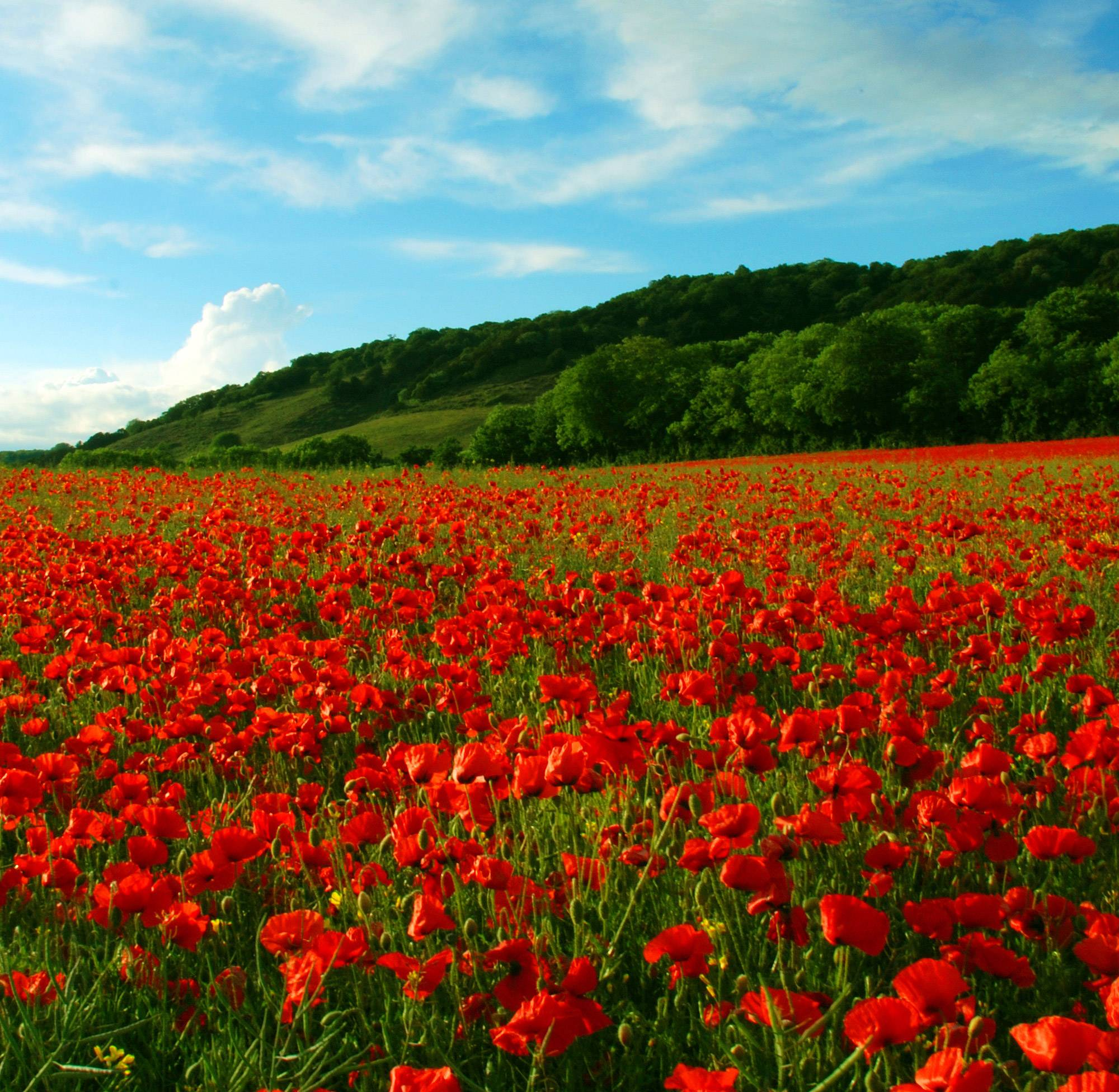 Poppy Backgrounds - Wallpaper Cave