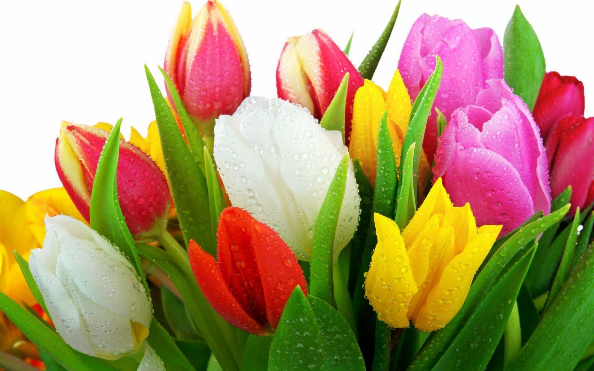 tulip flower wallpaper tulip flower pictures free new wallpapers