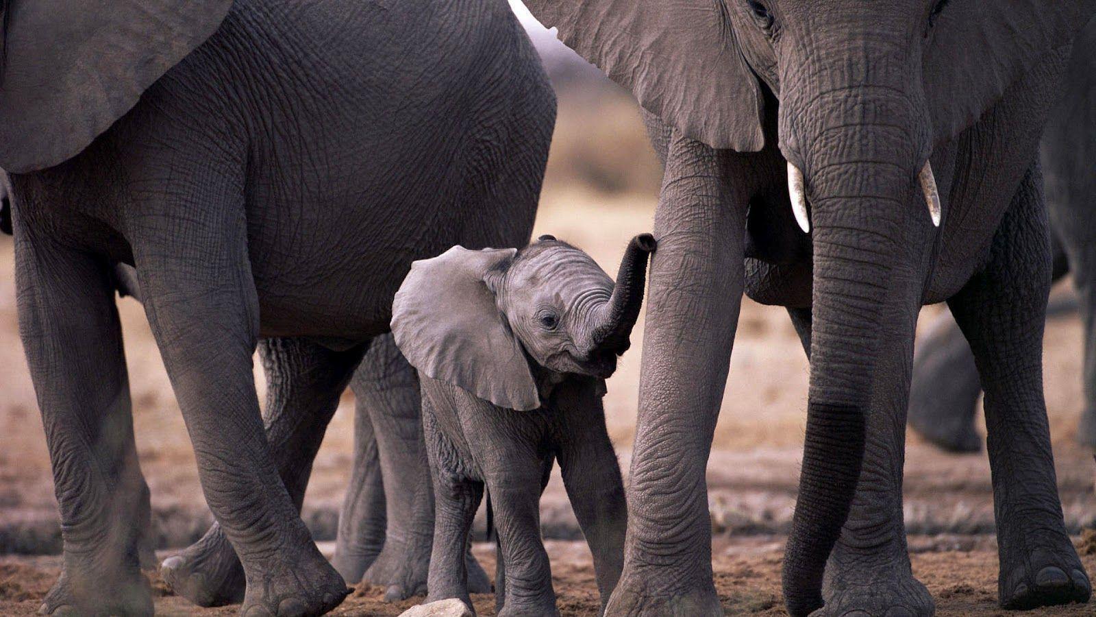 Baby elephants wallpaper - photo#48