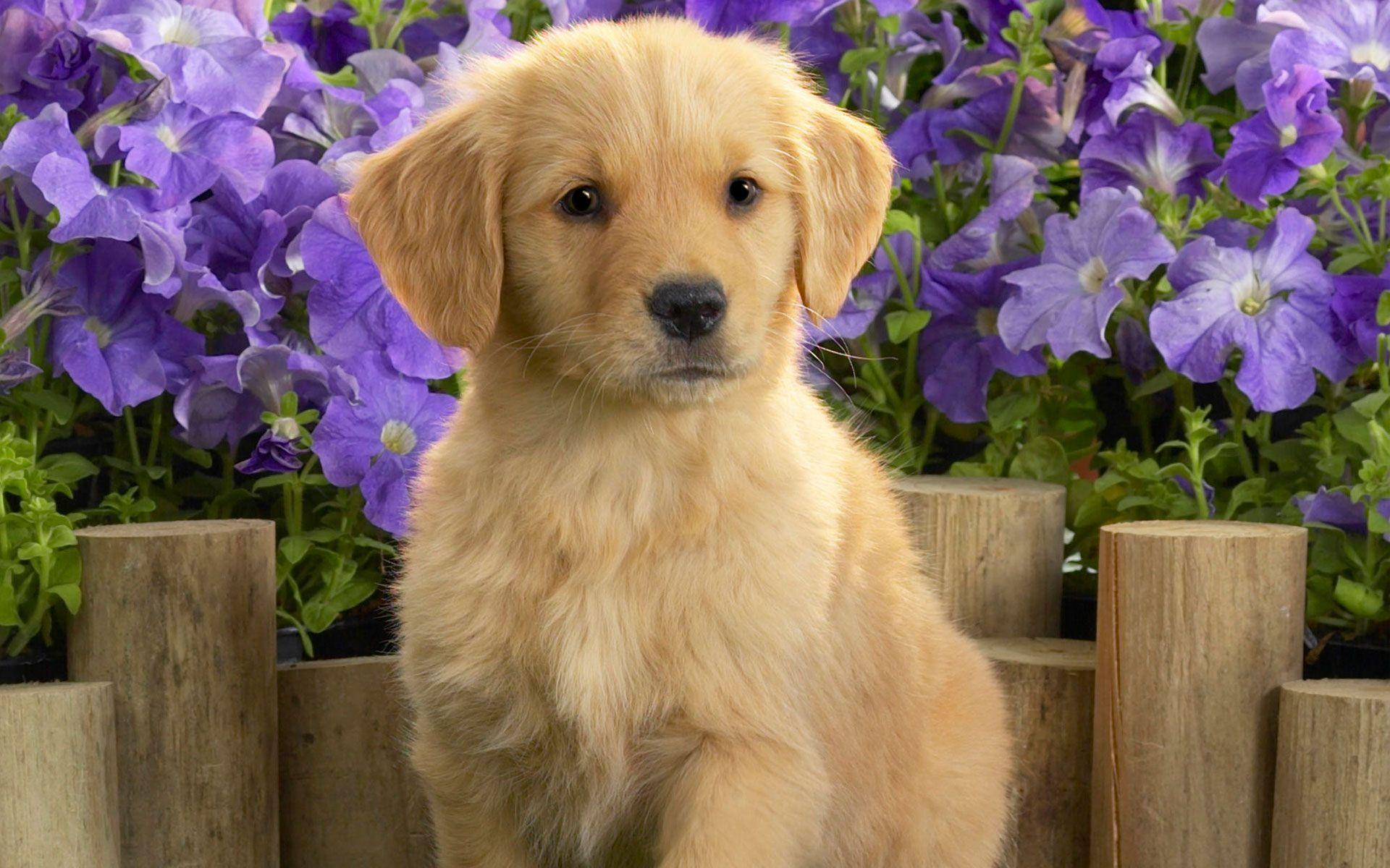 Yellow Labrador Puppy Wallpapers | HD Wallpapers