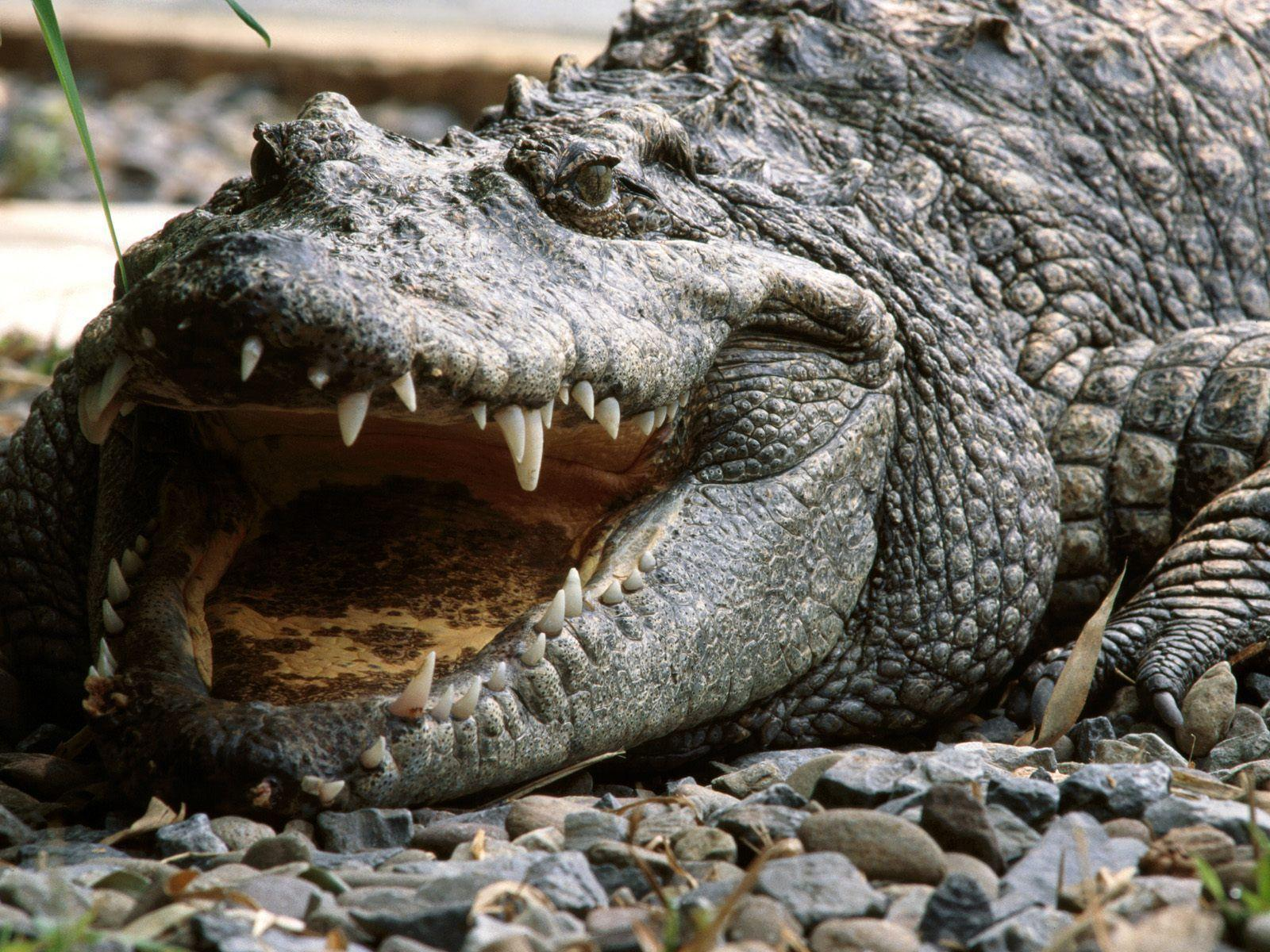 Alligator Wallpapers Full Hd Wallpaper Search Animal Picture ...