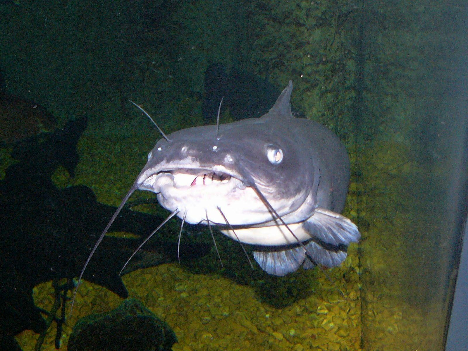 Catfish Wallpapers Wallpaper Cave