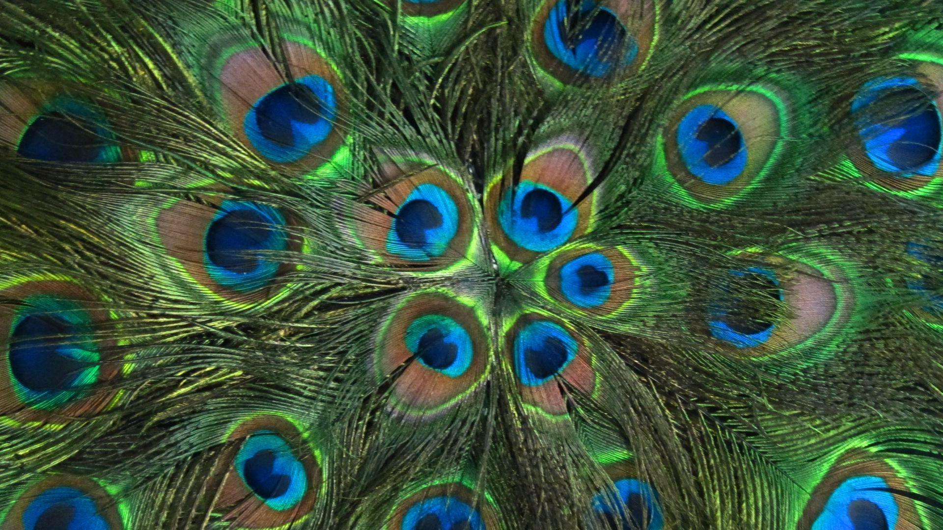 Mor Pankh Hd Wallpaper: Wallpapers Of Peacock Feathers HD 2016