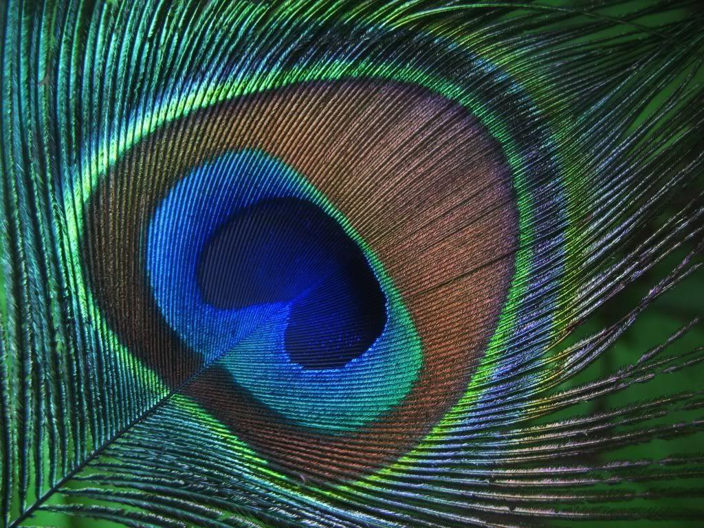 Wallpapers of peacock feathers hd 2016 wallpaper cave - Beautiful peacock feather ...