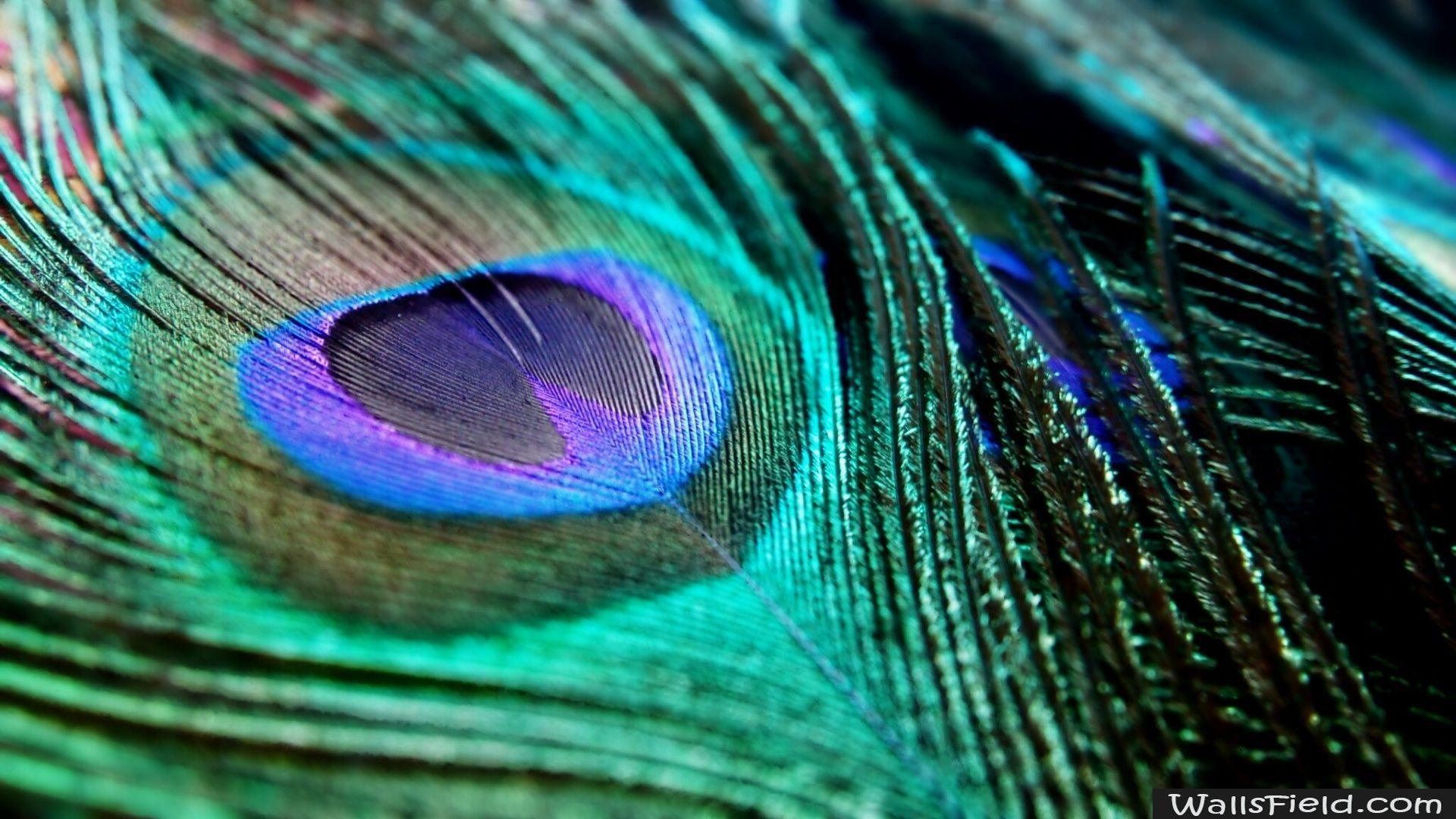 download peacock feather wallpapers - photo #9