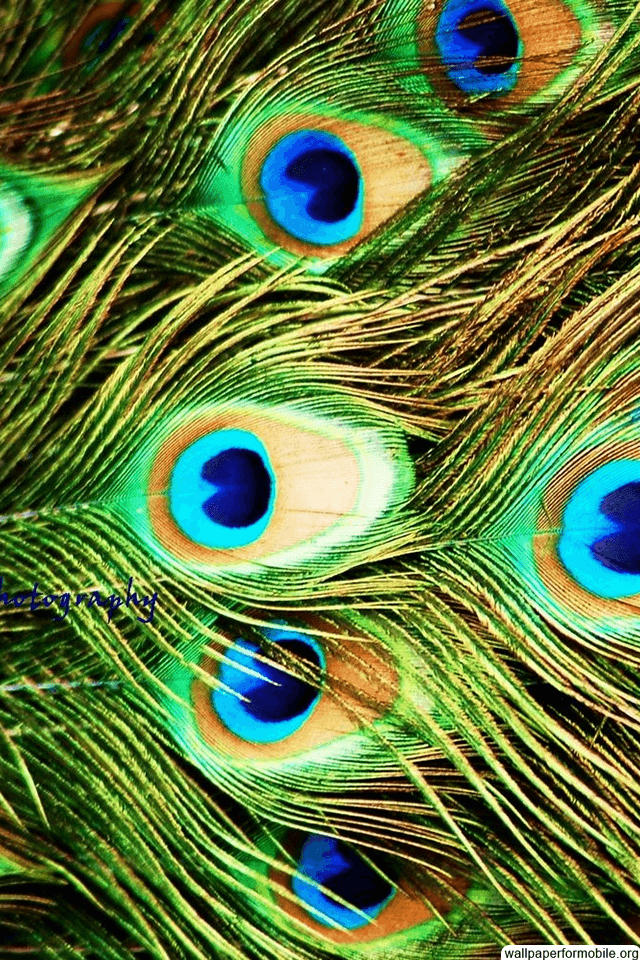 Wallpapers Of Peacock Feathers HD 2016 - Wallpaper Cave  Wallpapers Of P...