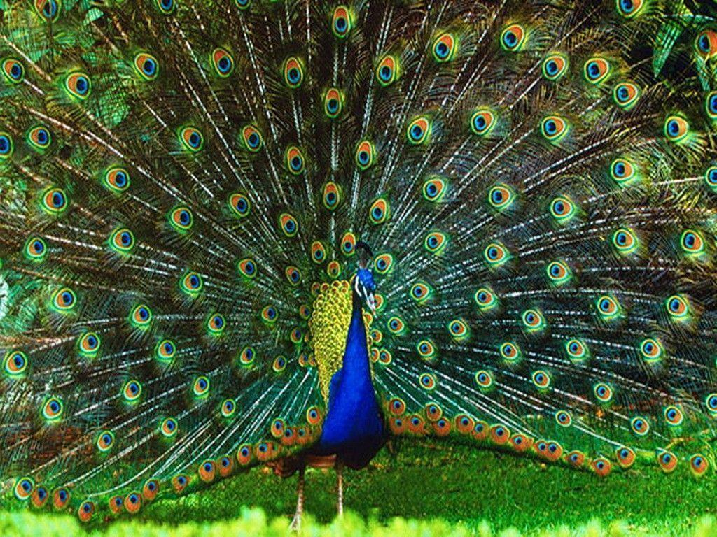 information about peacock bird Buy party bird island - choose a the gentle tail feathers of a towering inflatable peacock to complete the trifecta of the party bird floating.