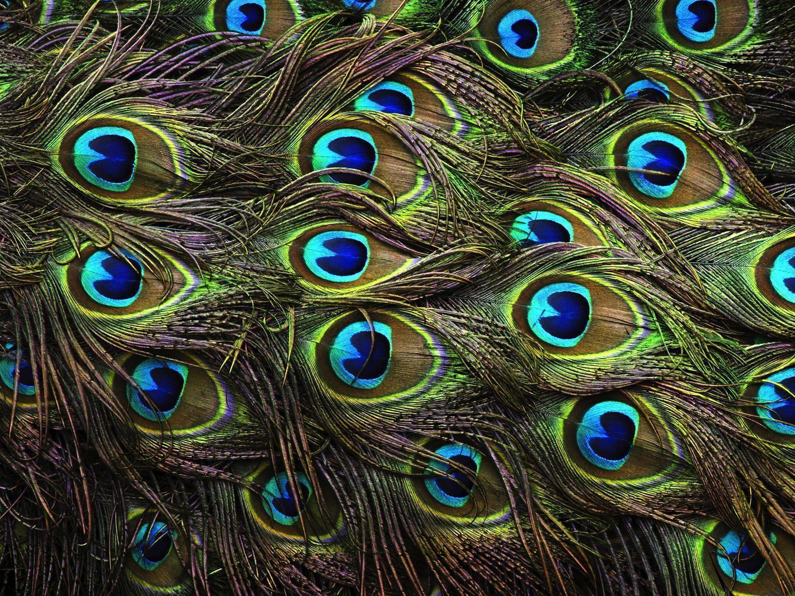 Wallpapers Of Peacock Feathers HD 2017 - Wallpaper Cave