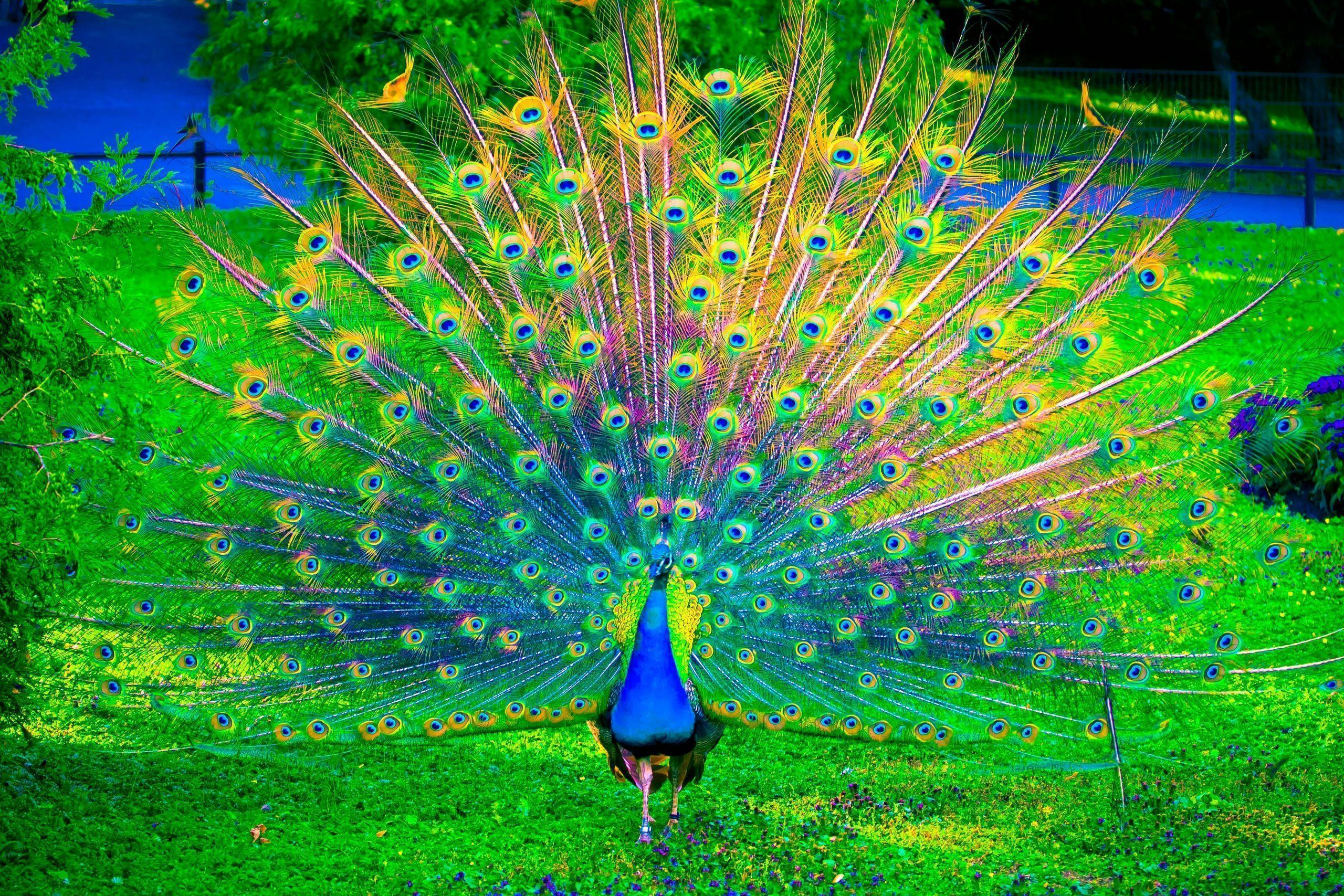 Wallpapers Of Peacock Feathers Hd 2017 Wallpaper Cave