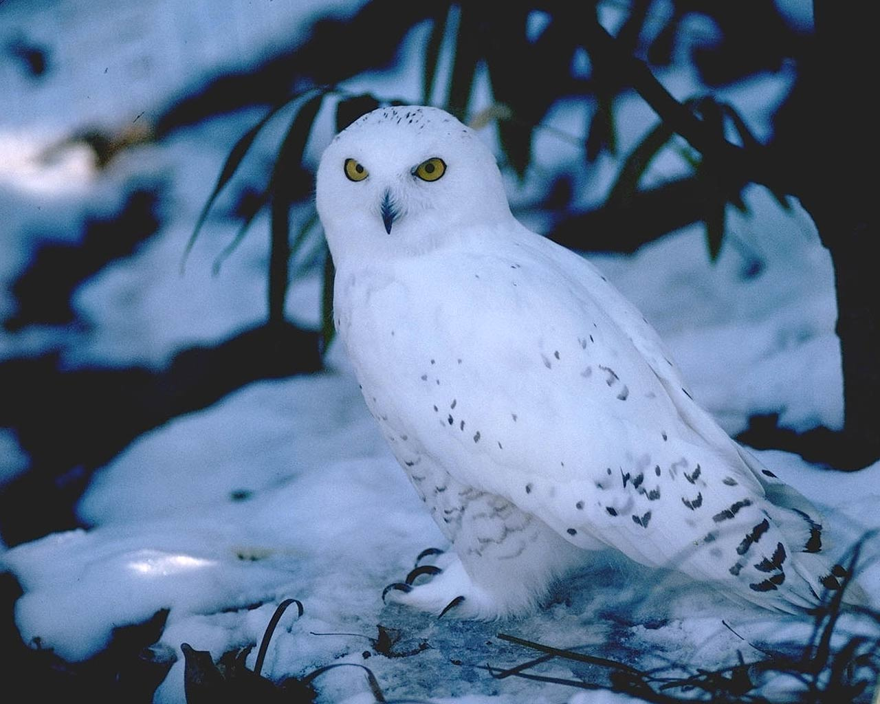 snowy owl wallpapers wallpaper cave