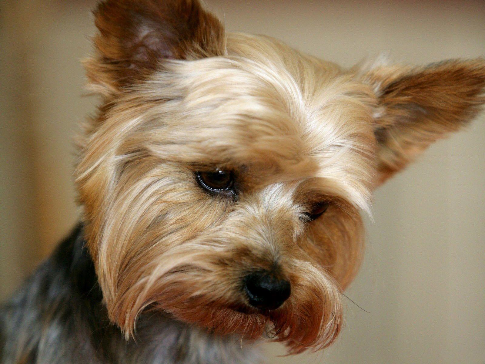 yorkshire terrier desktop wallpaper mythical wallpapers