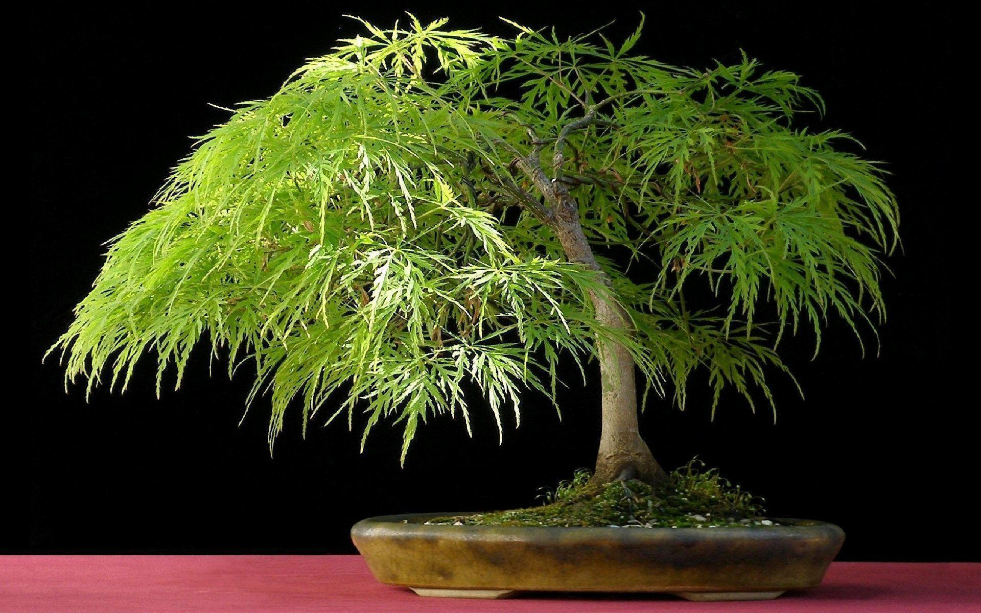 Bonsai Tree wallpaper - 451588