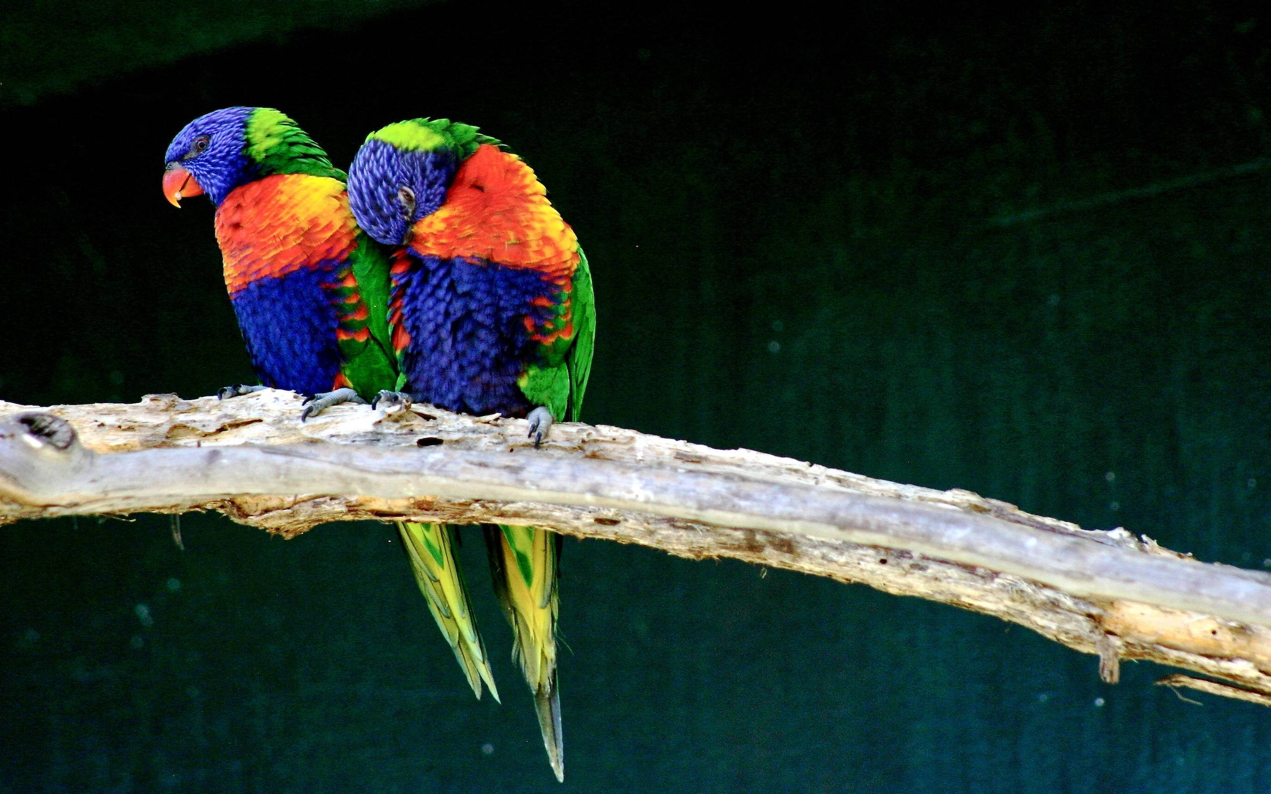 Love Bird Wallpapers - Wallpaper Cave - photo#13