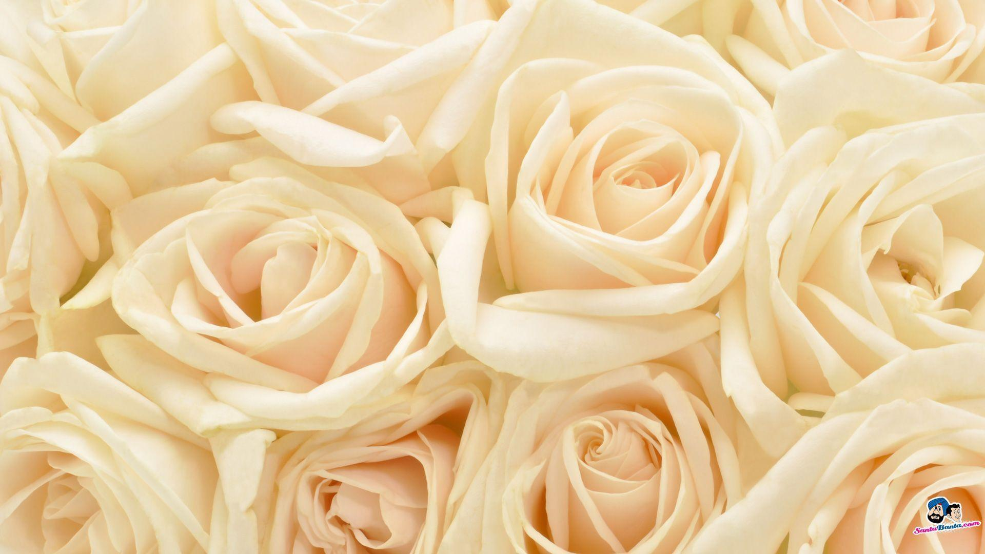 Flowers For Abstract White Rose Wallpaper