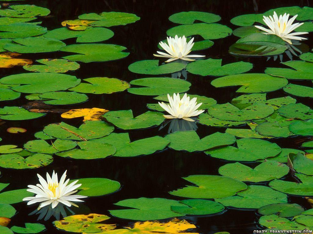 Water Lily - Flower wallpapers - Crazy Frankenstein
