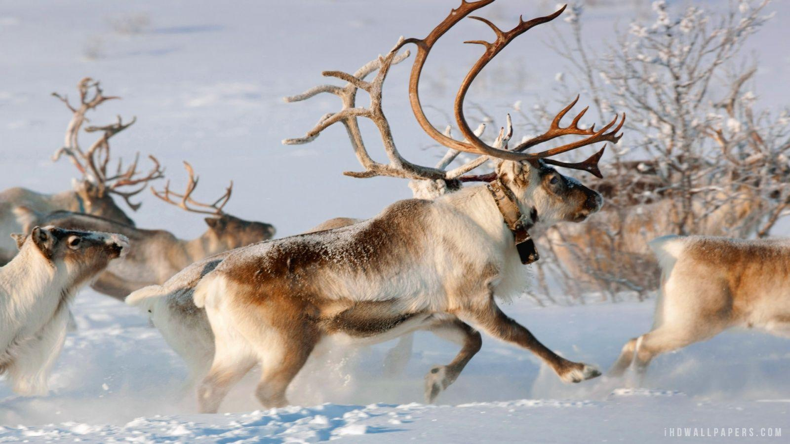 Reindeers Wallpapers Wallpaper Cave HD Wallpapers Download Free Images Wallpaper [1000image.com]