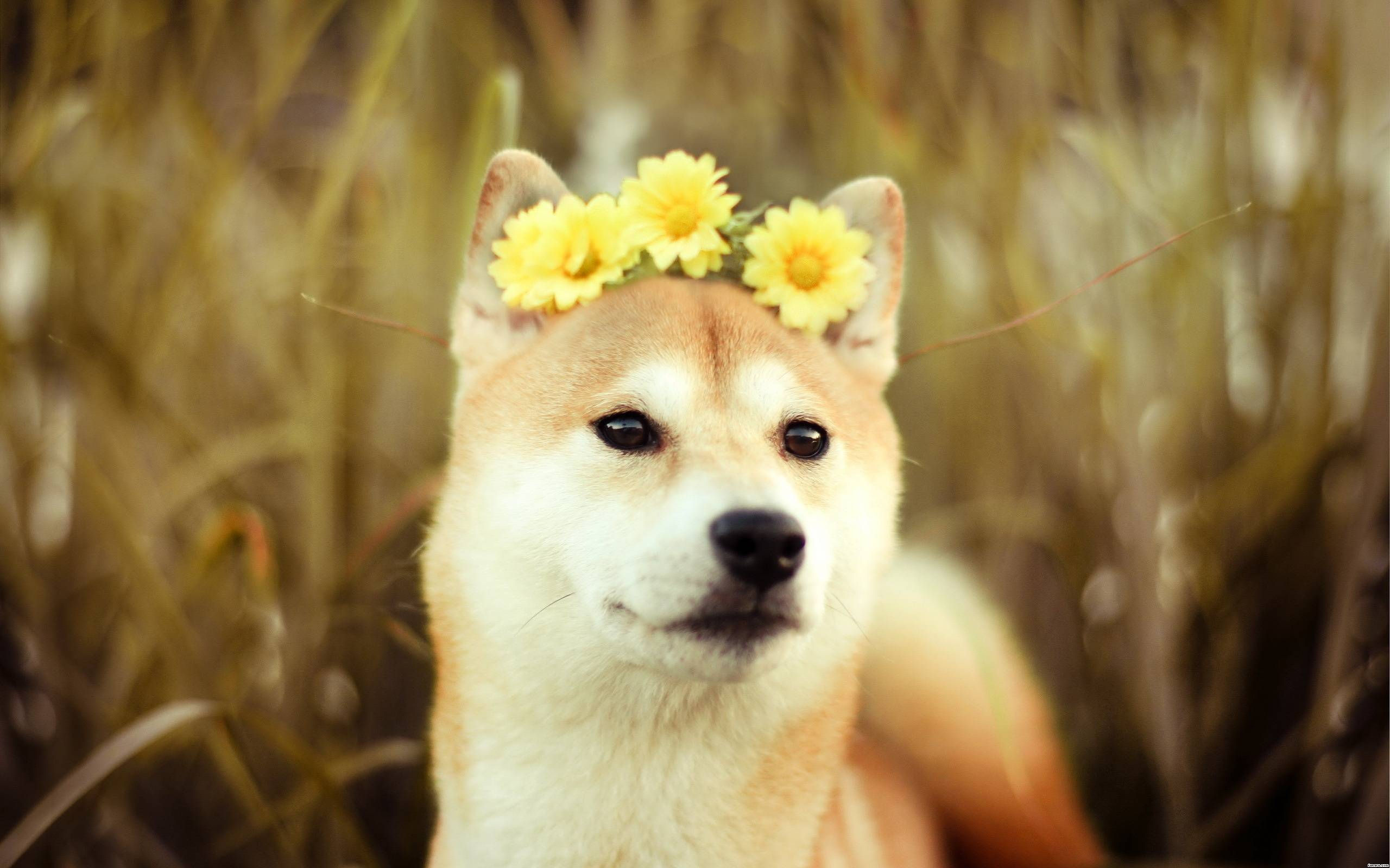 Free Doge Wallpapers Wide « Long Wallpapers