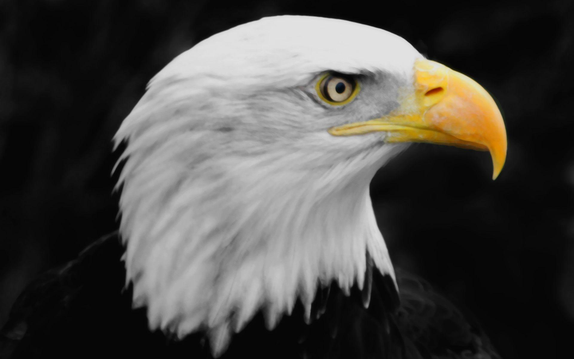 Bald Eagle | HD Wallpapers | Pictures | Images | Backgrounds | Photos