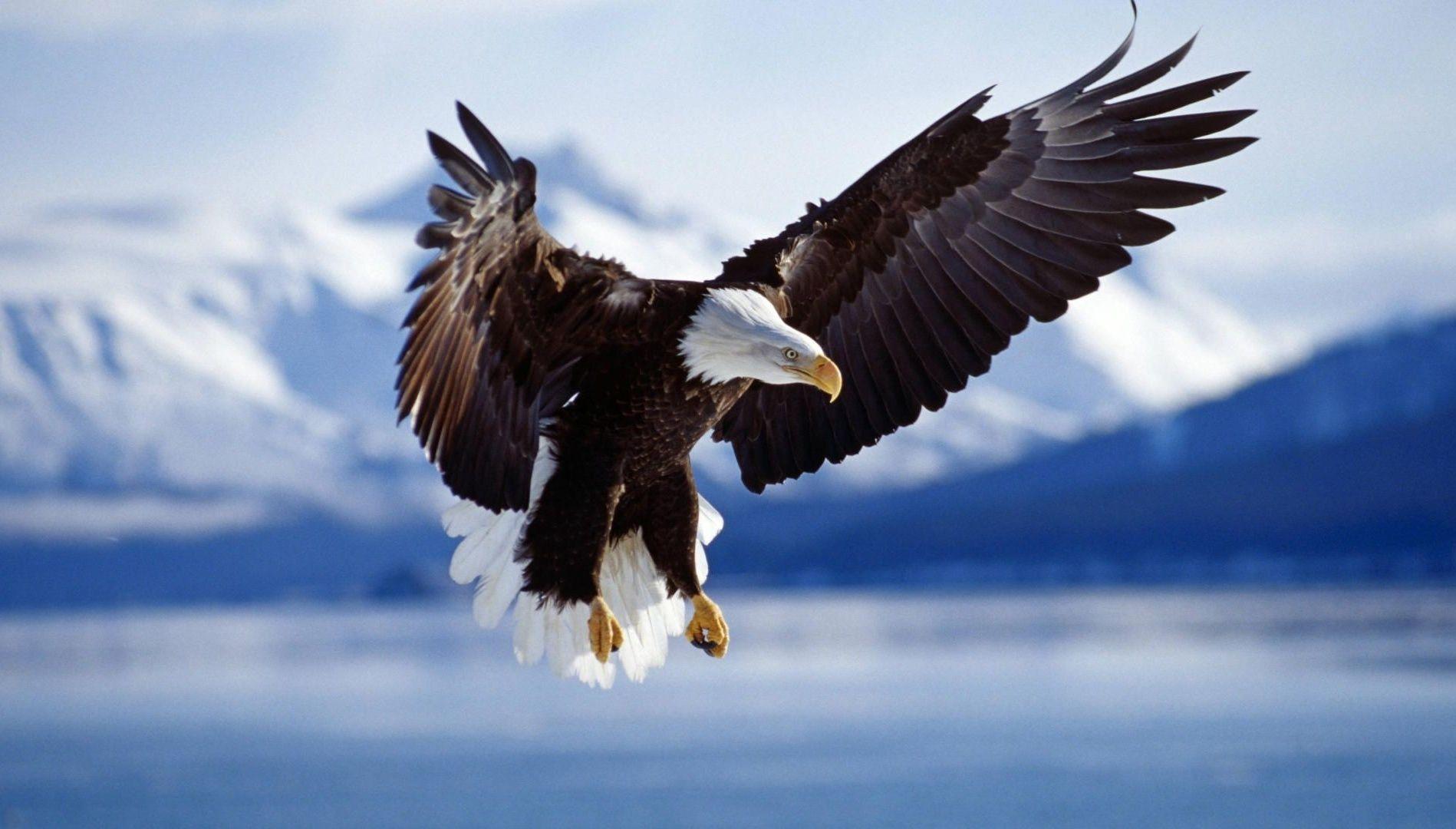 Golden Eagle - wallpaper.