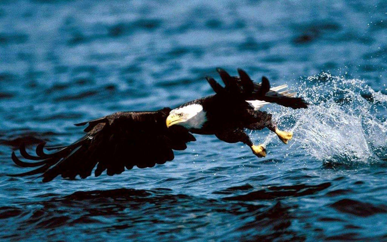 wallpapers: Eagle Wallpapers