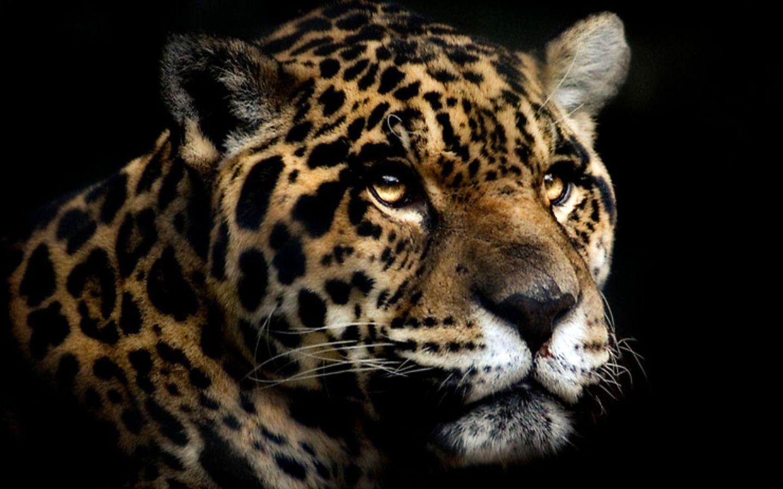 24 Jaguar Wallpapers Download