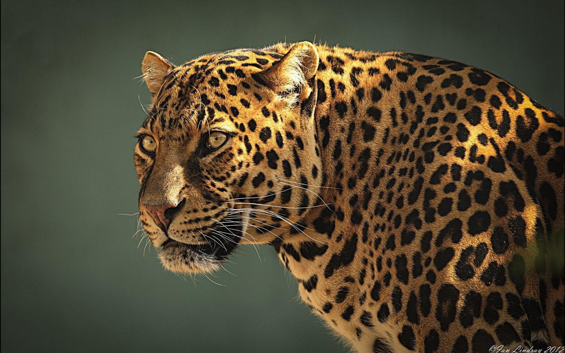 Wallpaper's Collection: «Jaguar Wallpapers»