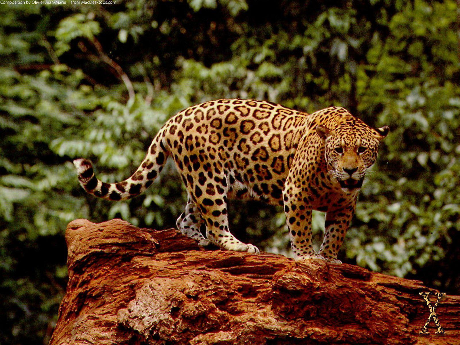 Jaguar Wallpapers - Wallpaper Cave