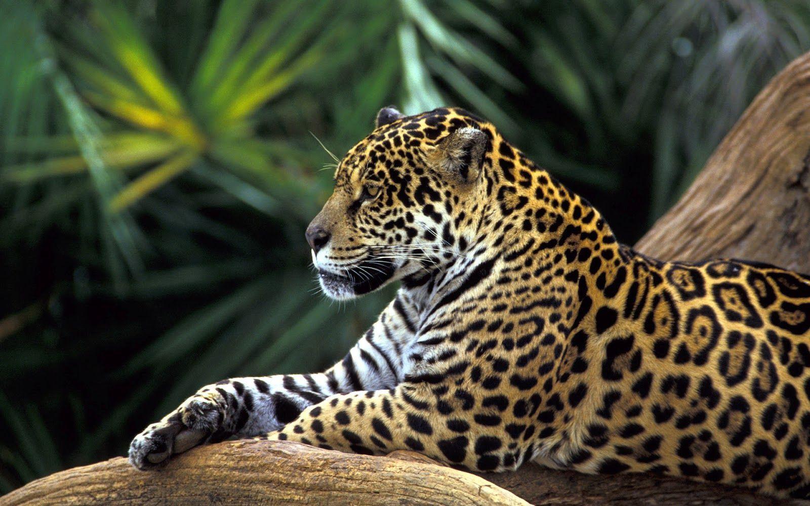 Jaguar wallpapers - Wallpapers