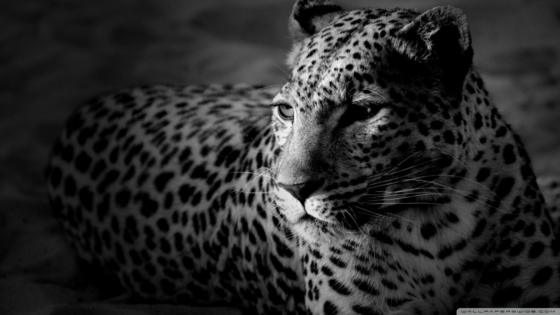 Black And White Jaguar HD desktop wallpaper : Widescreen : High ...