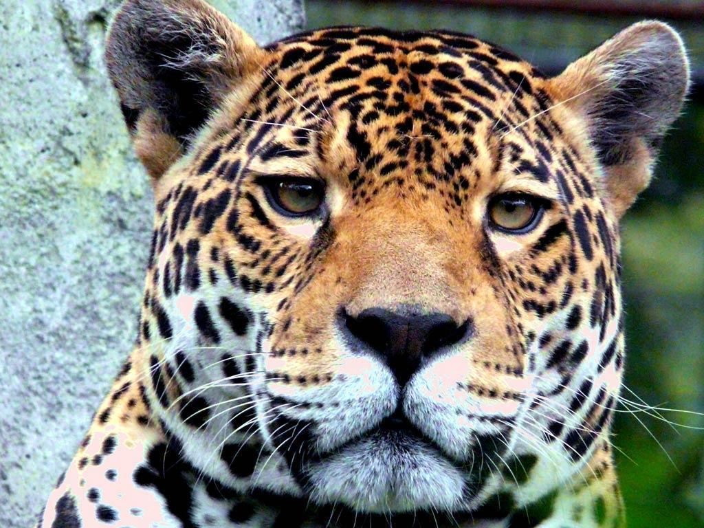 Jaguar wallpapers wallpaper cave - Jaguar animal hd wallpapers ...