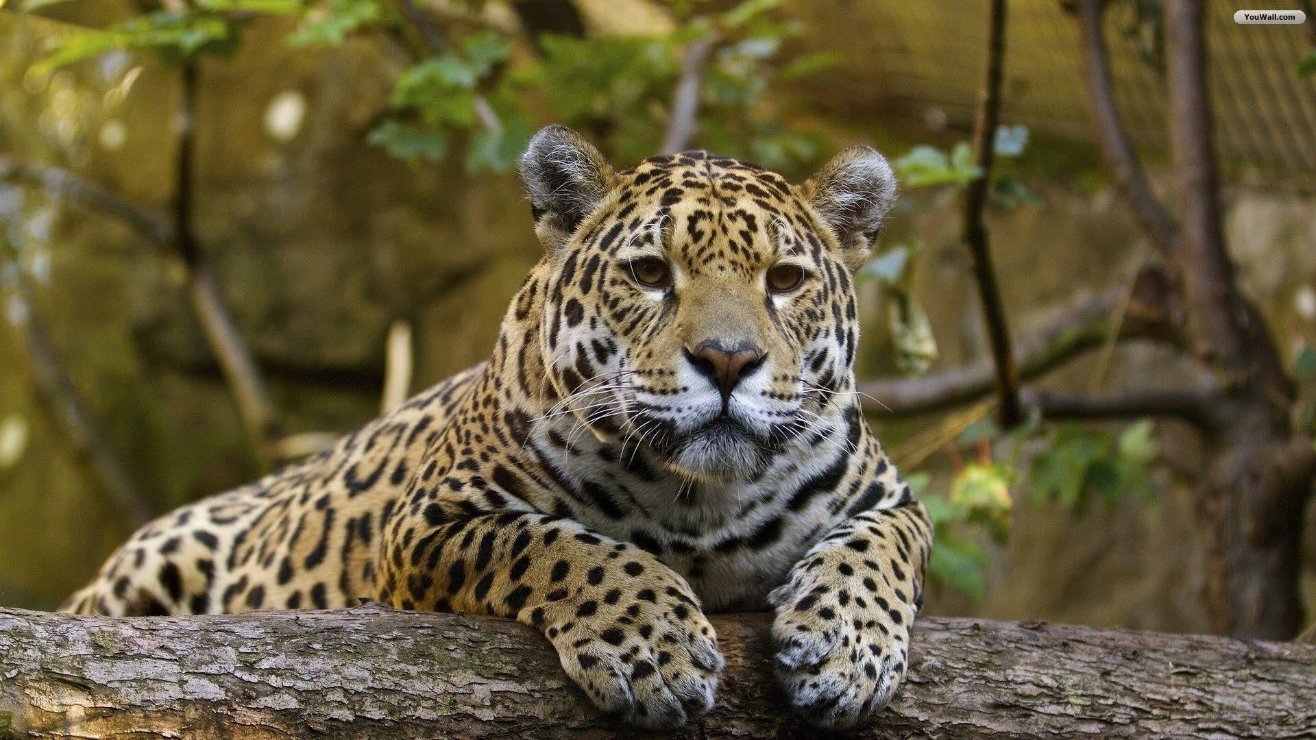 YouWall - Beautiful Jaguar Wallpaper - wallpaper,wallpapers,free ...