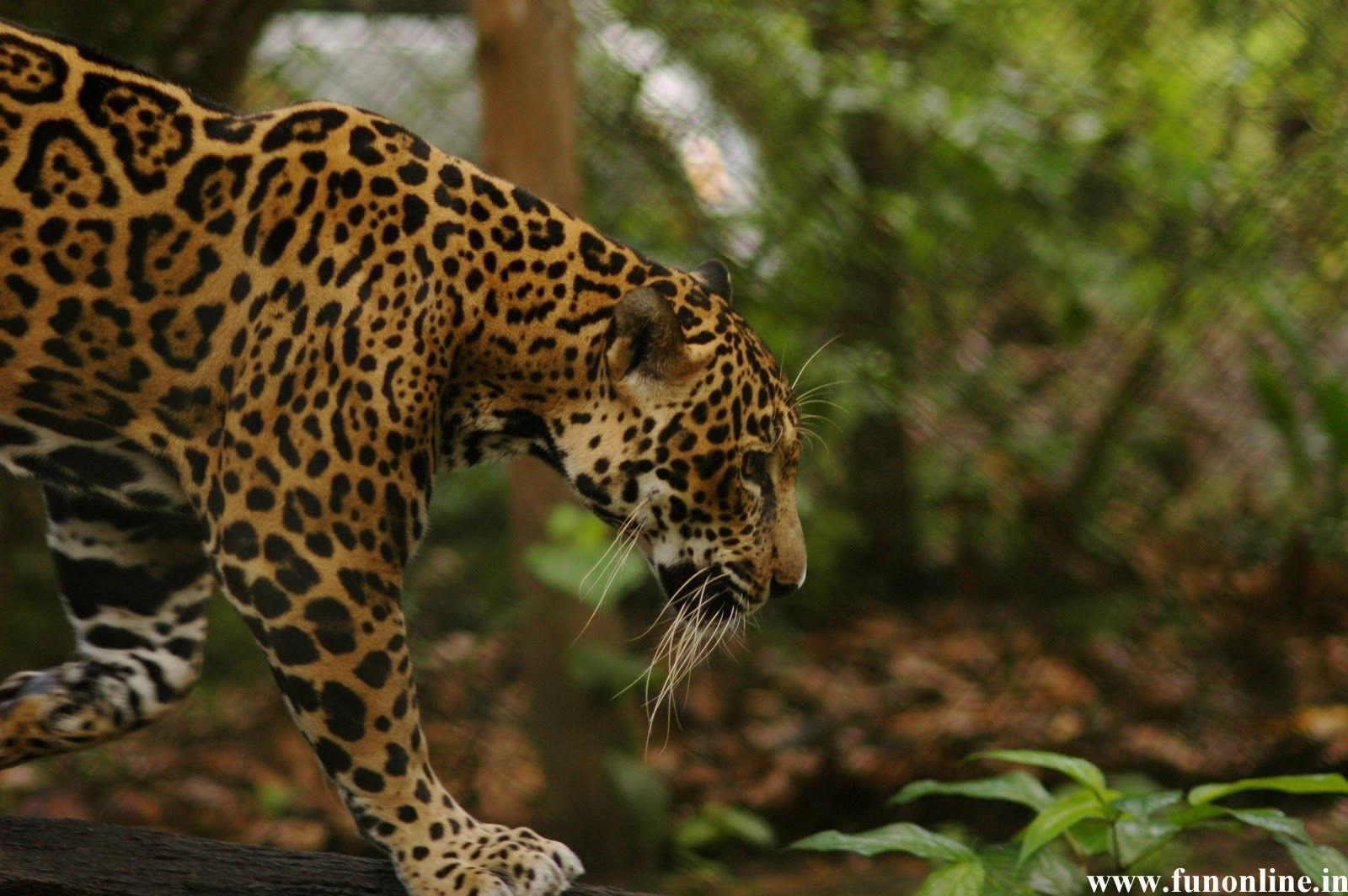 Jaguars Wallpaper - WallpaperSafari