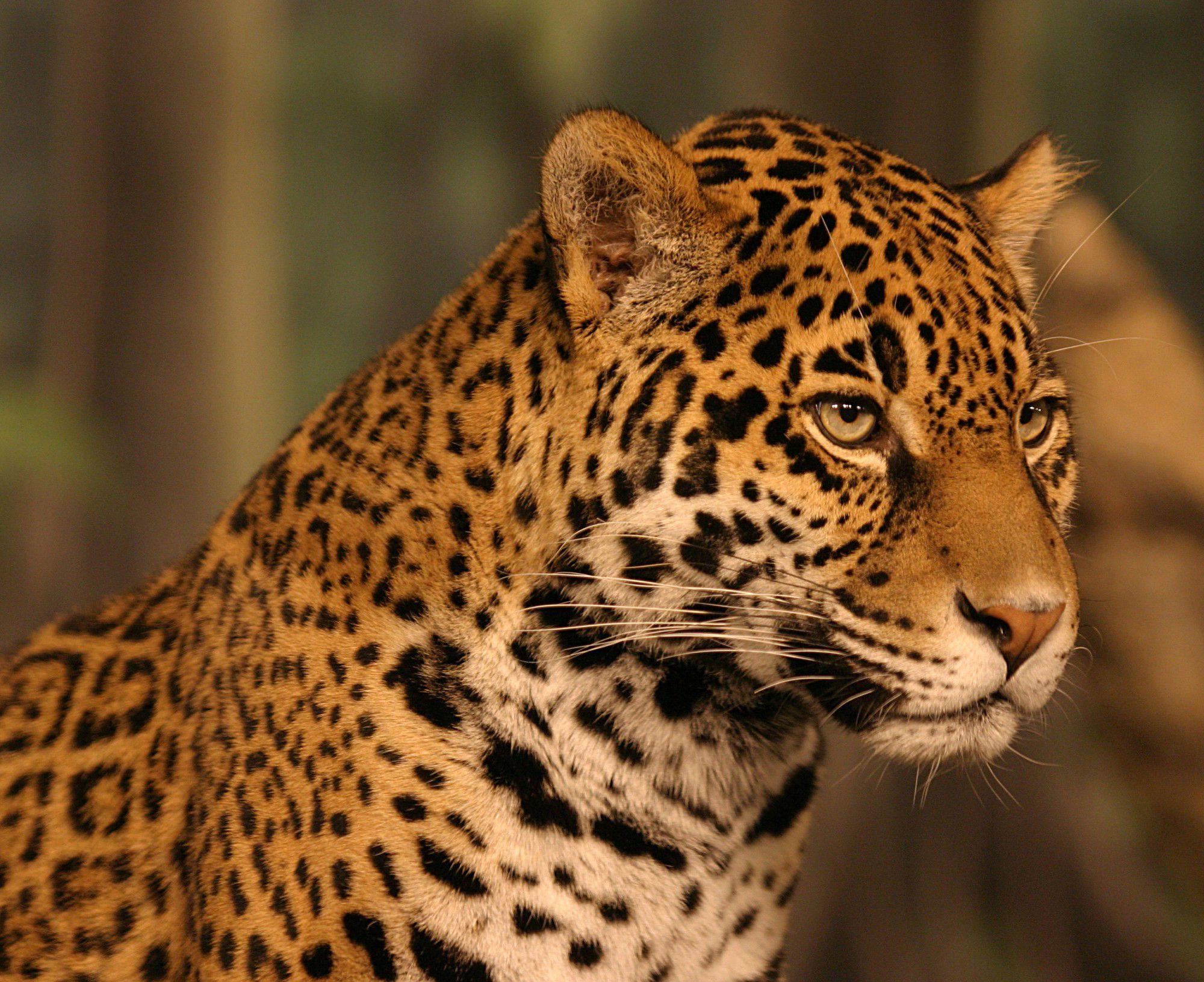 Jaguar Wallpapers HD - WallpaperSafari