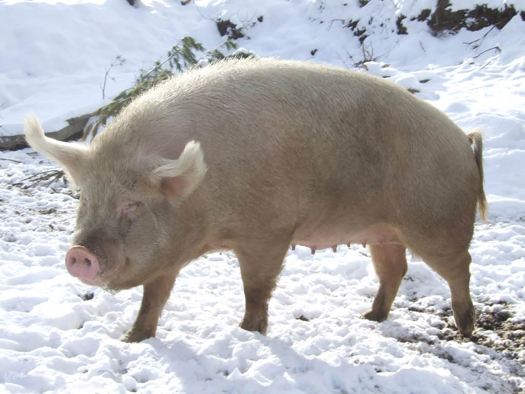 Free Pig Wallpaper - Animals Town