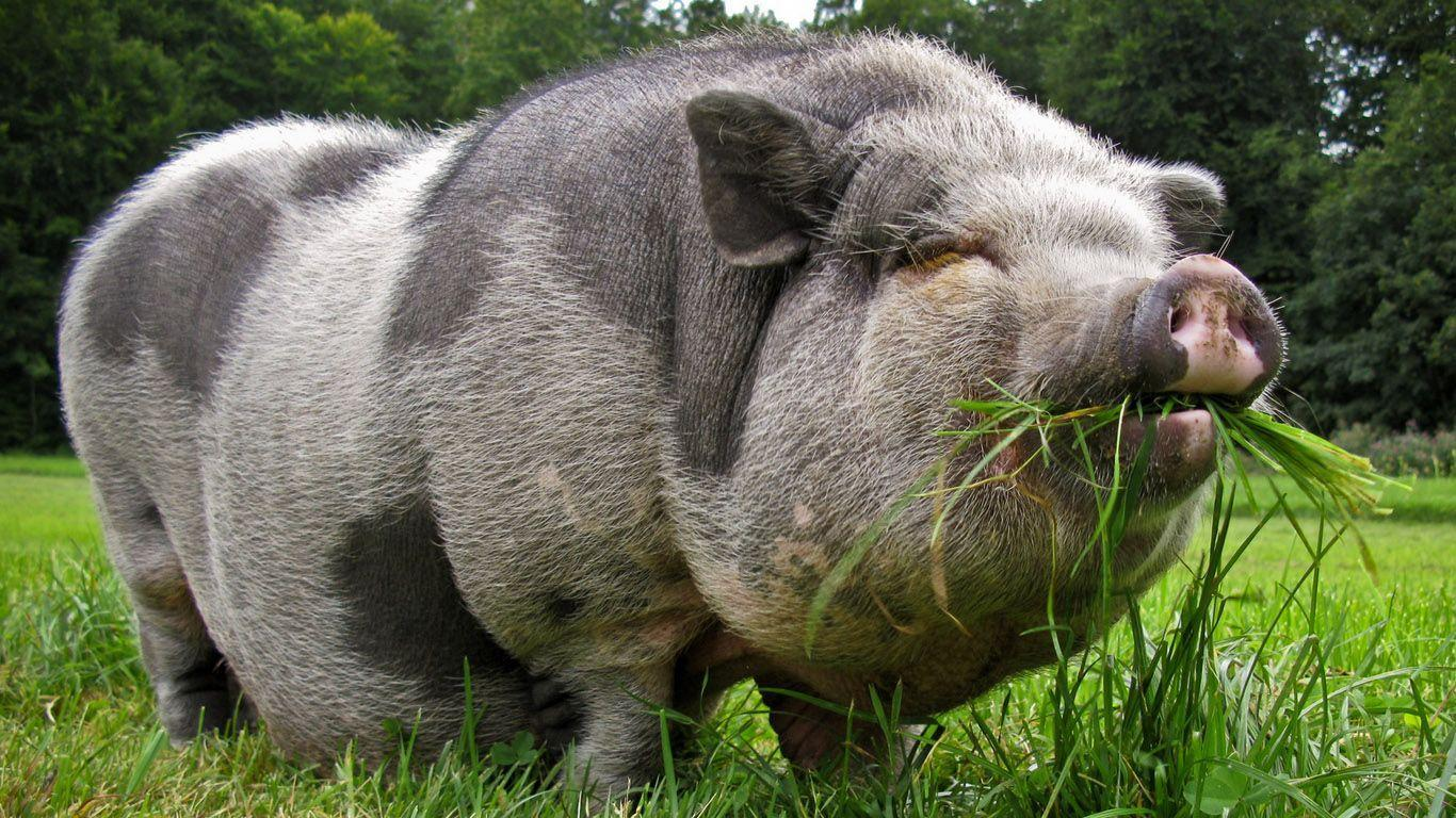 High Resolution Lovely Couple Pig Wallpaper 1080p - SiWallpaperHD ...
