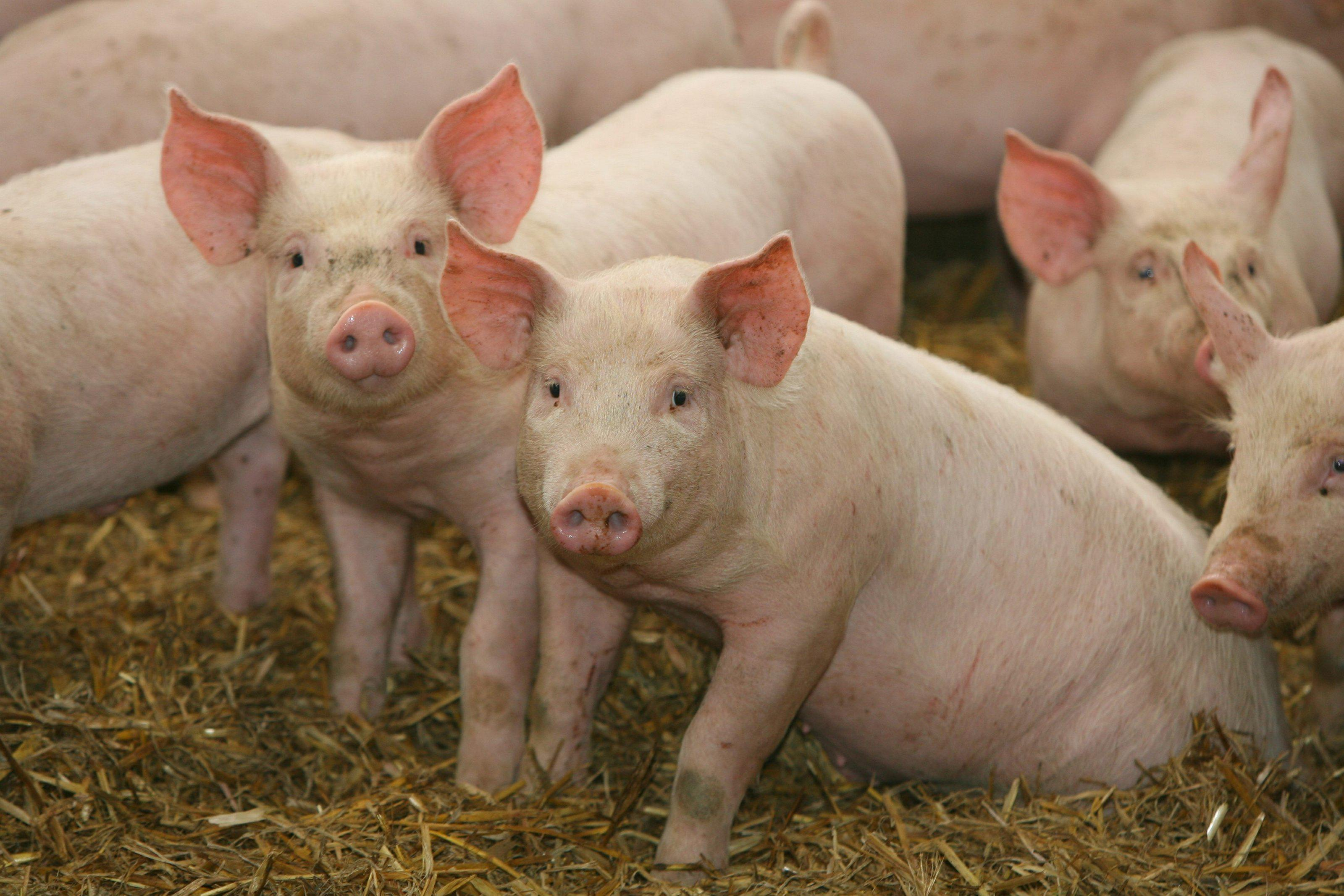 Farm Pigs - wallpaper.