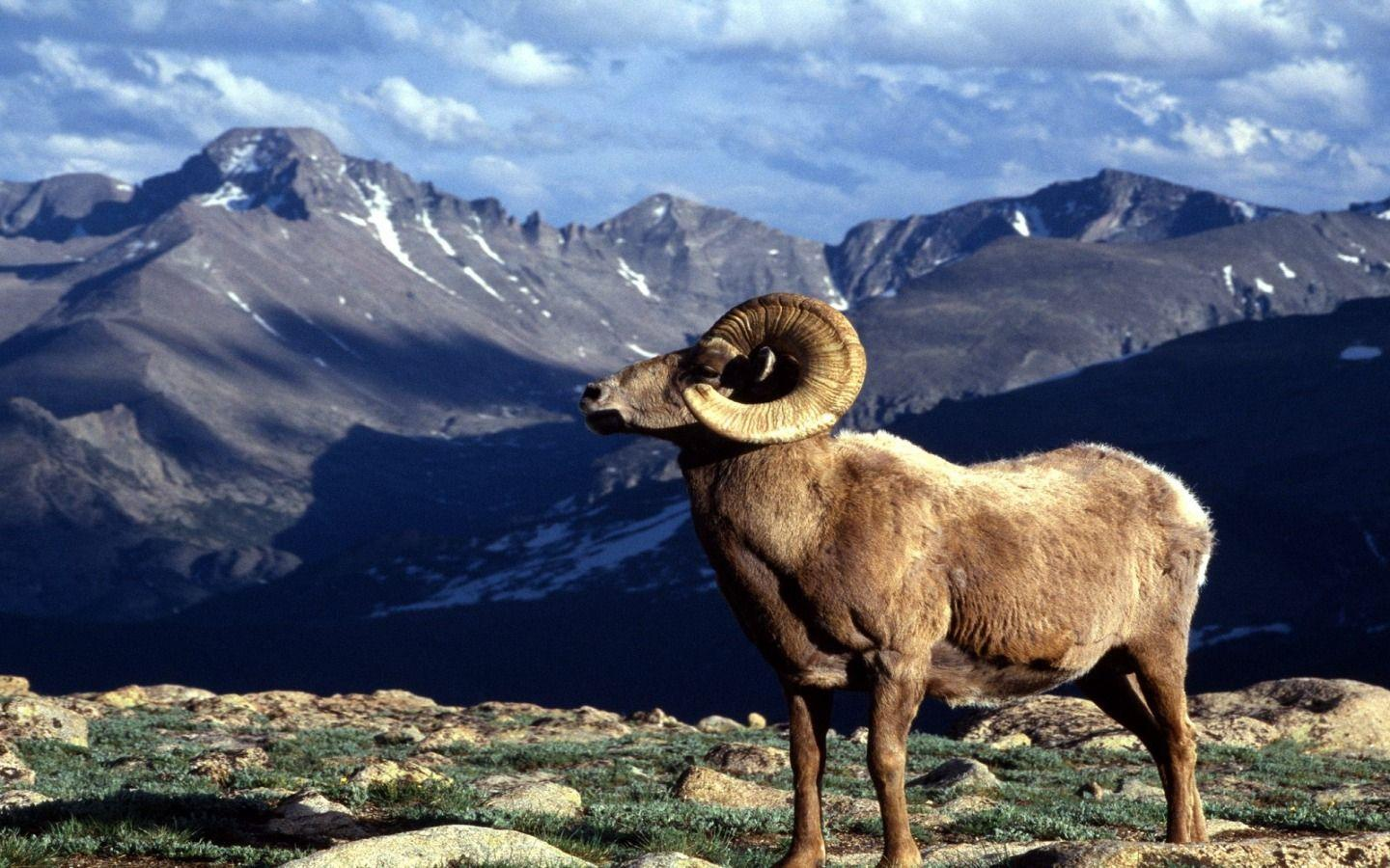 Big Horn Ram Colorado Wallpapers Colorado World Wallpapers in jpg