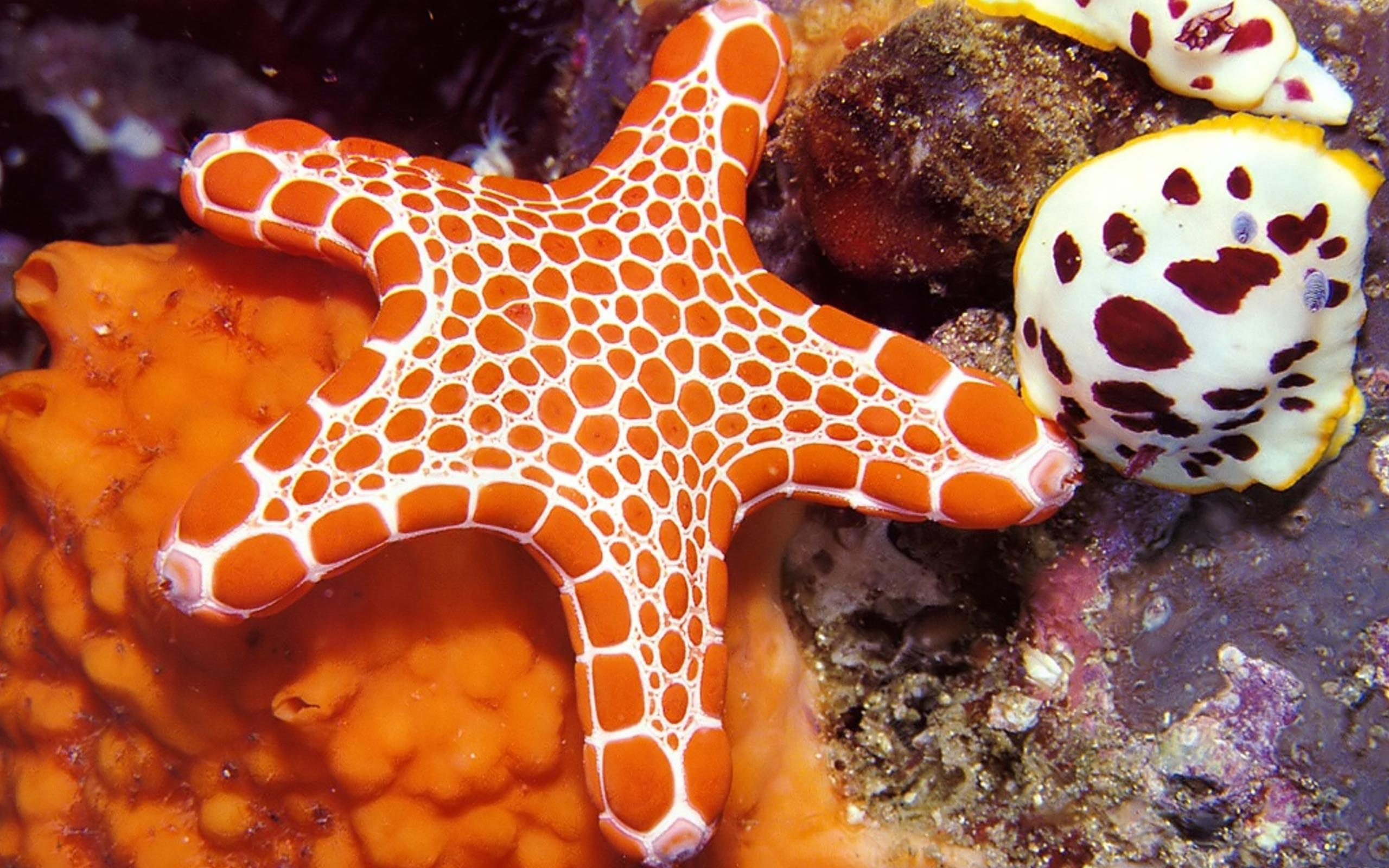 sea stars Starfish or sea stars are star-shaped echinoderms belonging to the class asteroideacommon usage frequently finds these names being also applied to ophiuroids, which are correctly referred to as brittle stars or basket stars.