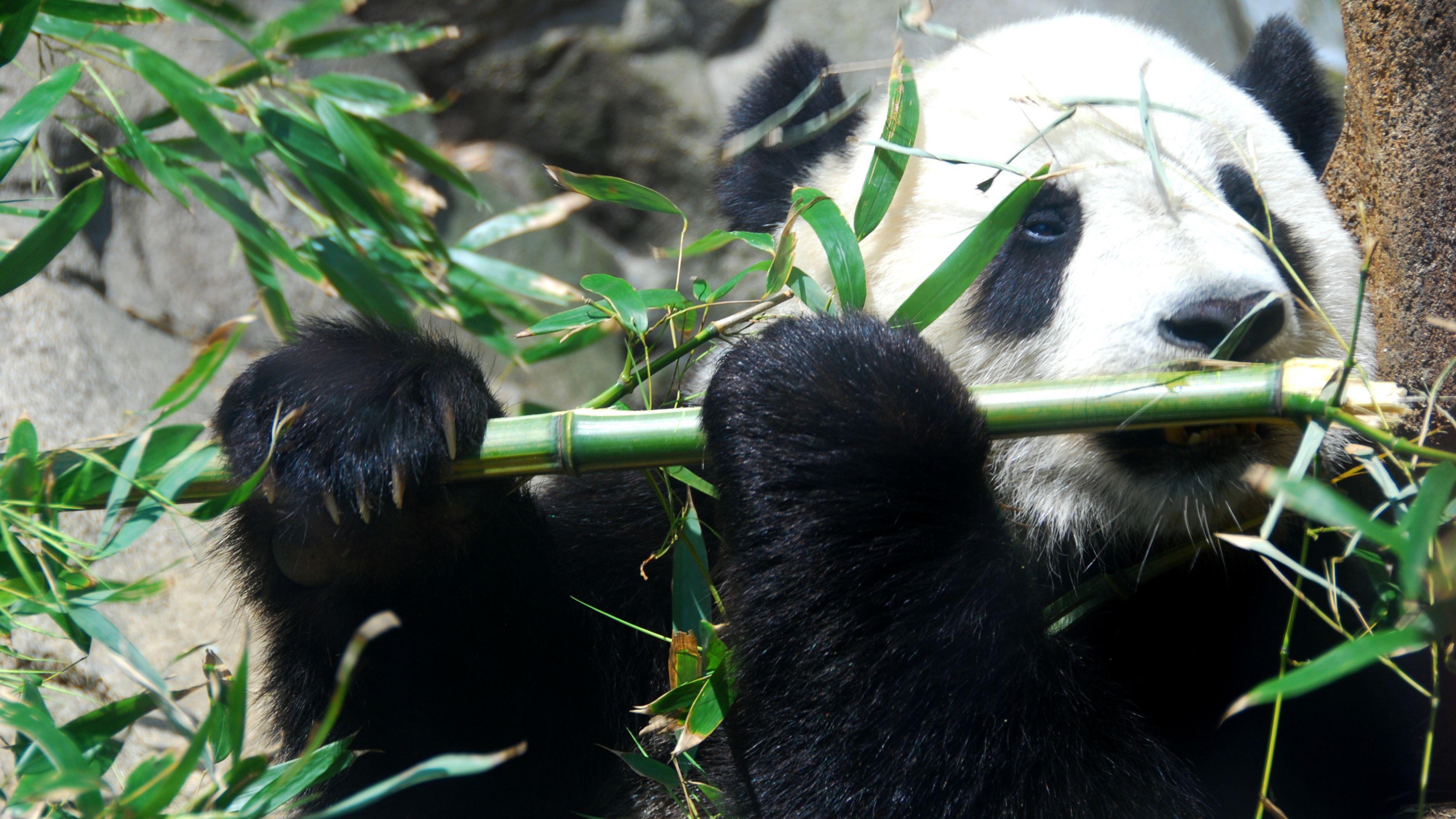 Panda bear playing flute wallpaper | YouBioit.com