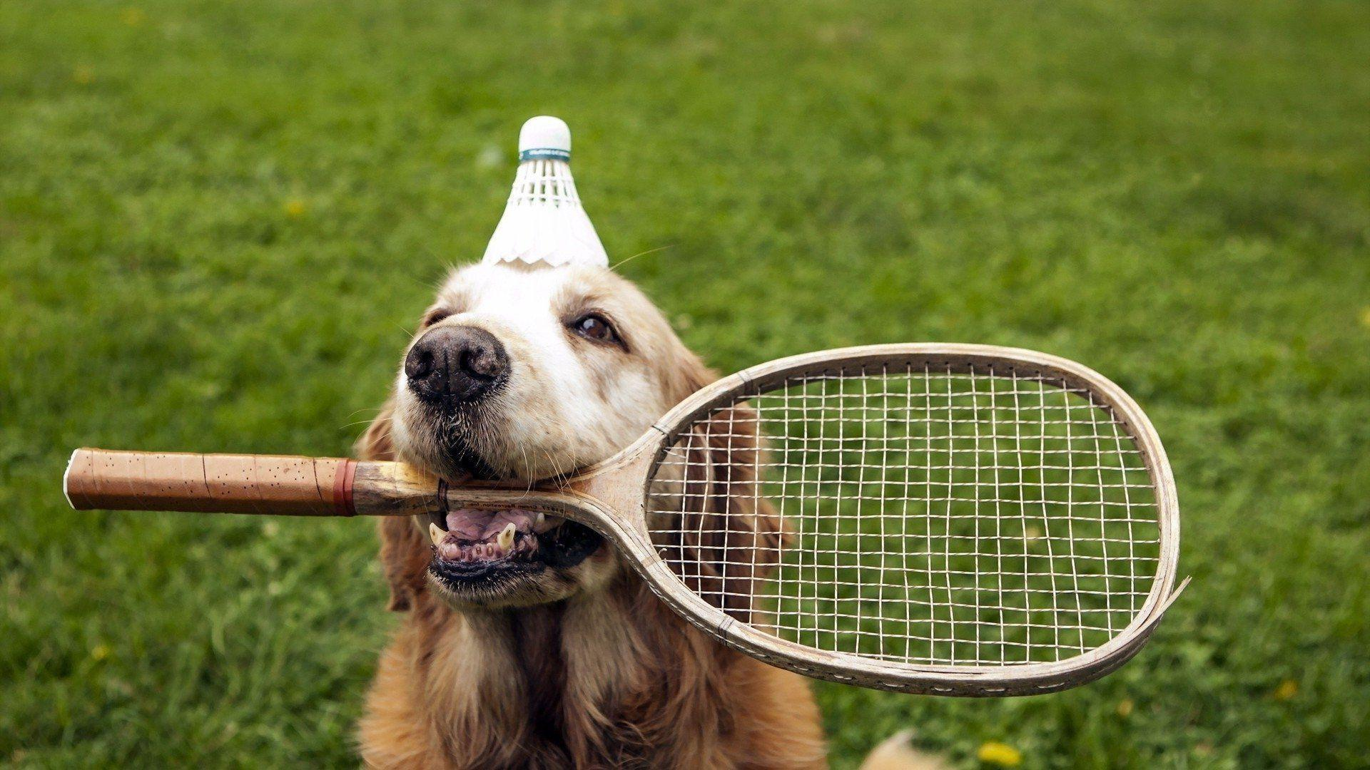Badminton Dog Wallpaper