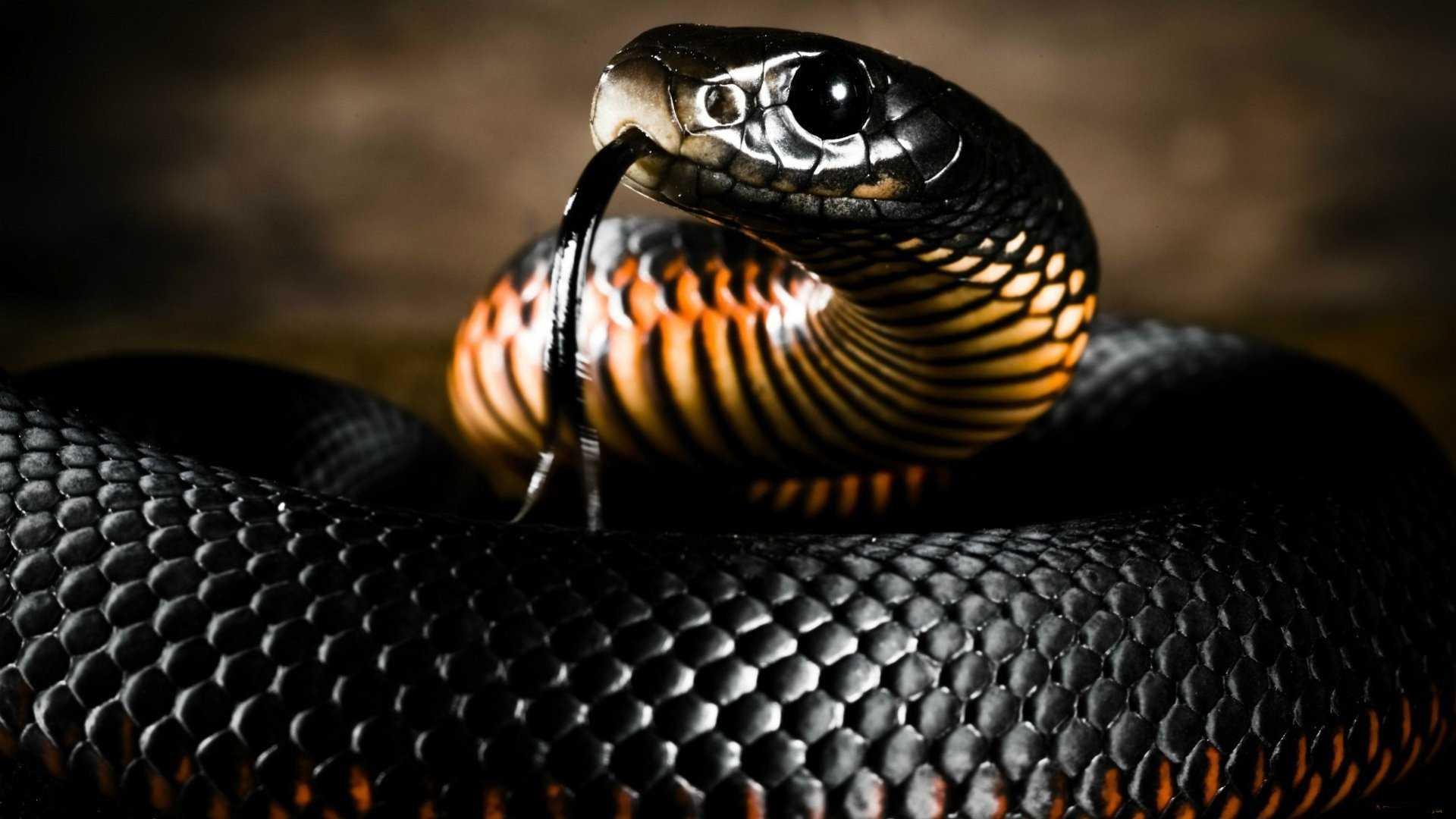 Black Mamba Snake Wallpaper HD Collection Of