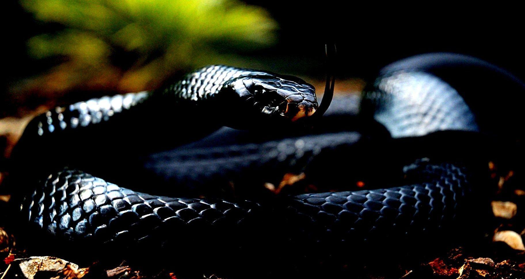 Hd Wallpaper Of Black Snake: Black Mamba Wallpapers