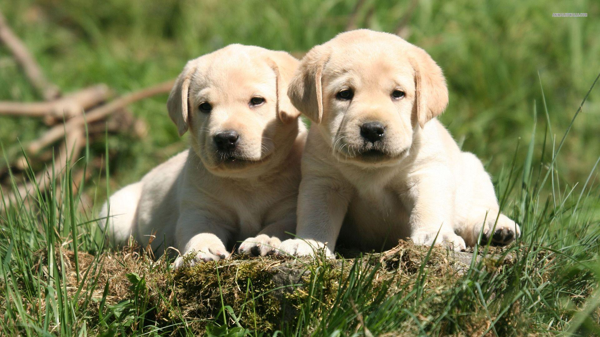 Lab Puppies Wallpapers Group