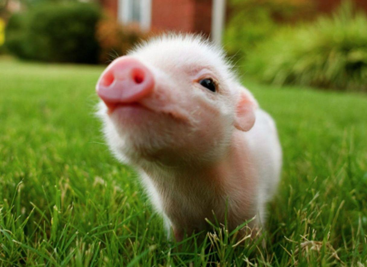 Baby Pigs Wallpapers